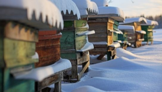 Зазимяване на пчелите и грижи за пчелите през зимата