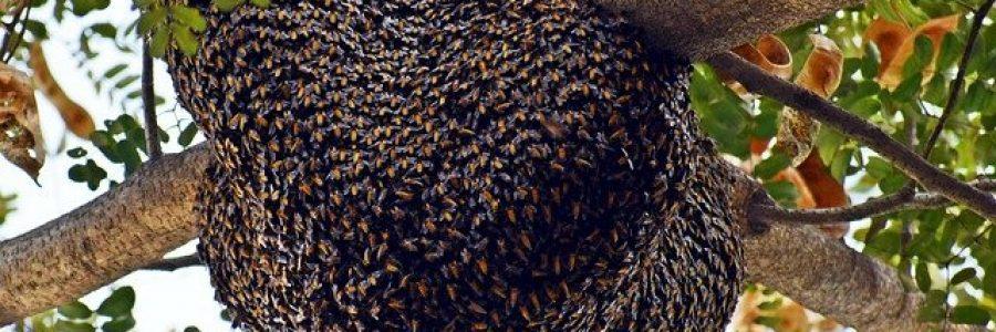 пчелен рой